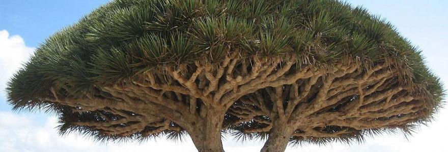 arbre sang de dragon
